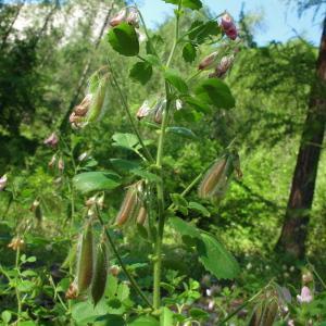 Ononis rotundifolia L. [1753, Sp. Pl., 2 : 719] (image CeL)