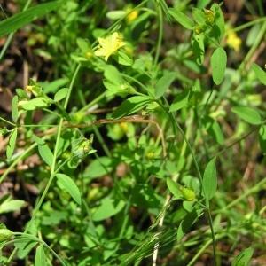 Photographie n°36703 du taxon Hypericum humifusum L. [1753]