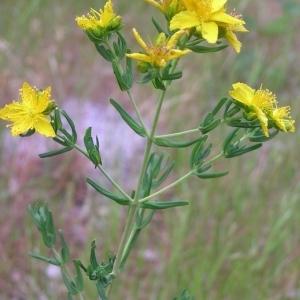 Photographie n°36724 du taxon Hypericum pulchrum L. [1753]