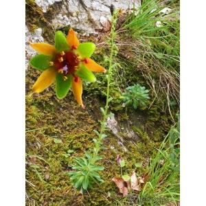 Saxifraga mutata L. (Saxifrage changeante)