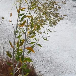 Photographie n°36797 du taxon Lepidium latifolium L.