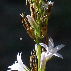 Photographie n°36832 du taxon Campanula rapunculus L.