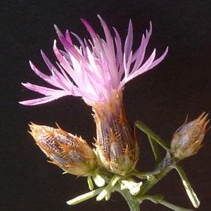 Photographie n°36865 du taxon Centaurea paniculata L.