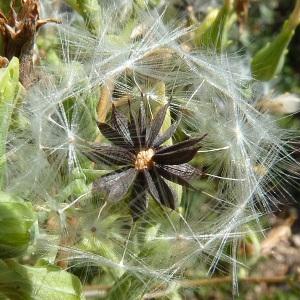 Photographie n°36869 du taxon Lactuca virosa L. [1753]