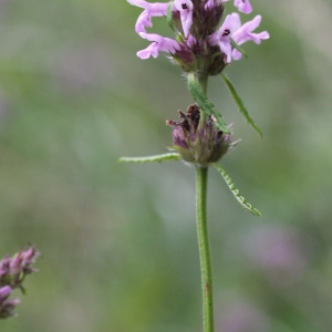 Photographie n°36902 du taxon Stachys officinalis (L.) Trévis. [1842]