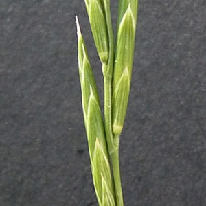 Photographie n°36914 du taxon Brachypodium pinnatum (L.) P.Beauv. [1812]