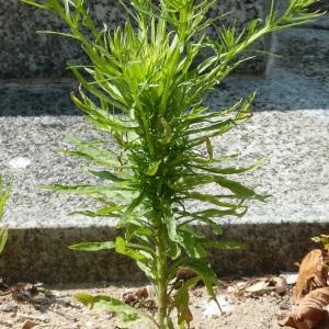 Photographie n°36920 du taxon Conyza bonariensis (L.) Cronquist
