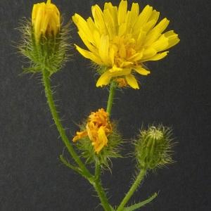 Photographie n°36922 du taxon Crepis setosa Haller f. [1797]