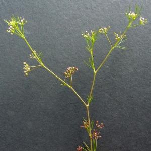Photographie n°36923 du taxon Cyclospermum leptophyllum (Pers.) Sprague ex Britton & Wilson [1925]