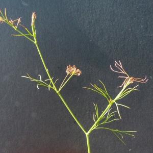 Photographie n°36925 du taxon Cyclospermum leptophyllum (Pers.) Sprague ex Britton & Wilson [1925]