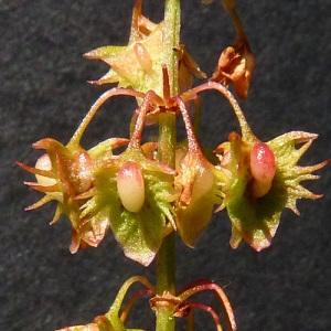 Photographie n°36939 du taxon Rumex obtusifolius L. [1753]