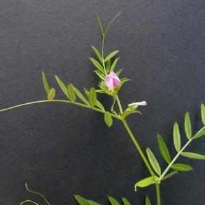- Vicia sativa subsp. sativa