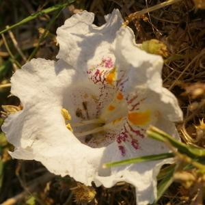 Photographie n°36963 du taxon Catalpa bignonioides Walter [1788]