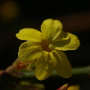 Photographie n°37011 du taxon Jasminum nudiflorum Lindl. [1846]