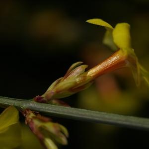 Photographie n°37012 du taxon Jasminum nudiflorum Lindl. [1846]