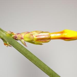 Photographie n°37022 du taxon Jasminum nudiflorum Lindl. [1846]