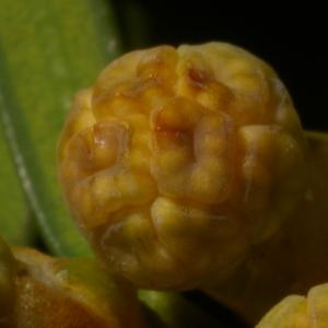 Photographie n°37025 du taxon Taxus baccata L. [1753]