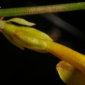 Photographie n°37079 du taxon Jasminum nudiflorum Lindl. [1846]