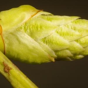 Photographie n°37102 du taxon Prunus laurocerasus L.