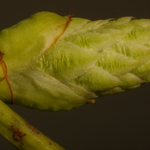 Photographie n°37103 du taxon Prunus laurocerasus L.