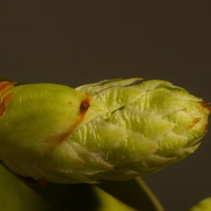 Photographie n°37104 du taxon Prunus laurocerasus L.