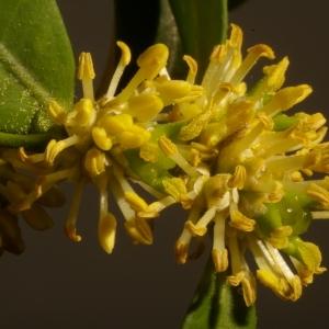 Photographie n°37131 du taxon Buxus sempervirens L. [1753]