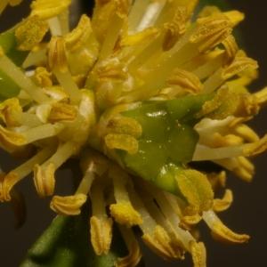 Photographie n°37132 du taxon Buxus sempervirens L. [1753]