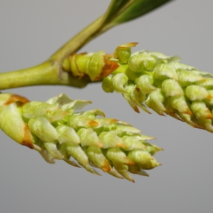 Photographie n°37145 du taxon Prunus laurocerasus L.