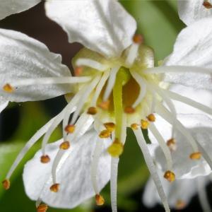 Photographie n°37174 du taxon Prunus avium (L.) L.