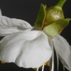 Photographie n°37178 du taxon Prunus avium (L.) L.