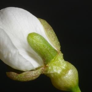 Photographie n°37180 du taxon Prunus avium (L.) L.