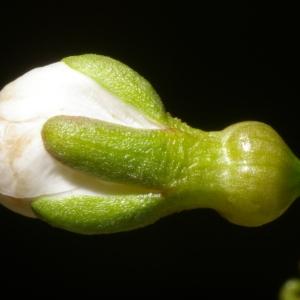 Photographie n°37181 du taxon Prunus avium (L.) L.