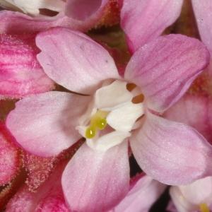 Photographie n°37189 du taxon Ribes sanguineum Pursh [1814]