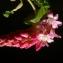 Michel POURCHET  - Ribes sanguineum Pursh [1814]