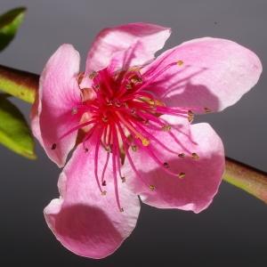 Photographie n°37259 du taxon Prunus persica (L.) Batsch