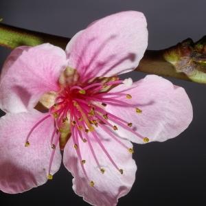 Photographie n°37260 du taxon Prunus persica (L.) Batsch