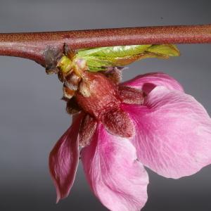 Photographie n°37261 du taxon Prunus persica (L.) Batsch