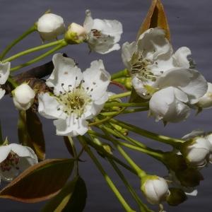 Photographie n°37262 du taxon Pyrus pyraster (L.) Du Roi