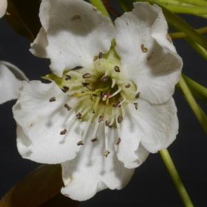 Photographie n°37263 du taxon Pyrus pyraster (L.) Du Roi