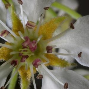 Photographie n°37296 du taxon Pyrus communis L.