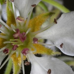 Photographie n°37297 du taxon Pyrus communis L.