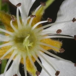 Photographie n°37298 du taxon Pyrus communis L.