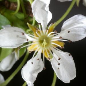 Photographie n°37299 du taxon Pyrus communis L.