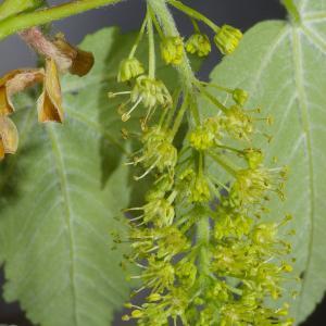 Photographie n°37301 du taxon Acer pseudoplatanus L.