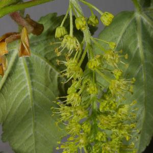 Photographie n°37302 du taxon Acer pseudoplatanus L.