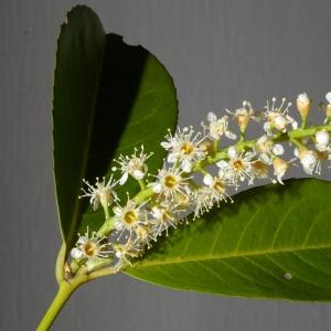 Photographie n°37347 du taxon Prunus laurocerasus L.