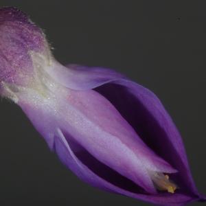 Photographie n°37365 du taxon Wisteria sinensis (Sims) Sweet [1826]