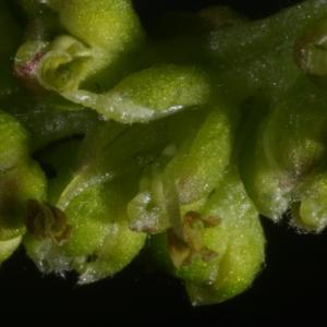 Photographie n°37446 du taxon Morus nigra L.