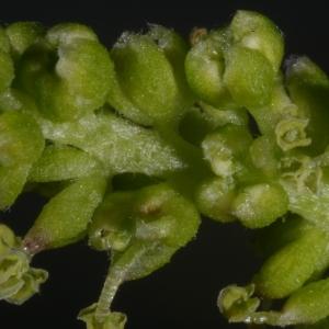 Photographie n°37448 du taxon Morus nigra L.