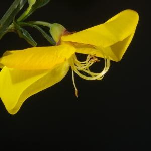 Photographie n°37468 du taxon Cytisus scoparius (L.) Link [1822]